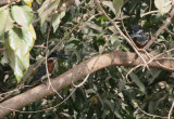 Giant Kingfishers - Afrikaanse Reuzenijsvogels