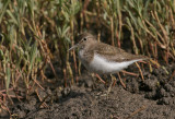 Common Sandpiper - Oeverloper
