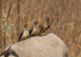 Yellow-billed Oxpecker - Geelsnavelossenpikker