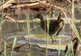 Spotted Crake, new species for The Gambia- Porseleinhoen, nieuwe soort voor Gambia