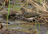 Greater Painted-snipe - Goudsnip