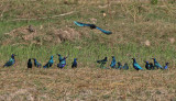 Greater Blue-eared Starlings (yellow eyes) and Lesser Blue-eared Starlings (orange eyes) - Groenstaartglansspreeuwen (gele ogen)