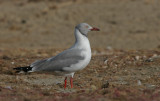 Grey-headed Gull - Grijskopmeeuw