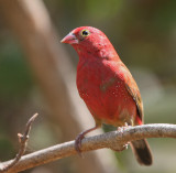 Red-billed Firefinch - Vuurvink