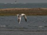 Leucistic Lesser Black-backed Gull - Leucistische Kleine Mantelmeeuw