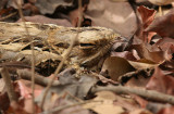 Long-tailed Nightjar - Mozambikaanse Nachtzwaluw