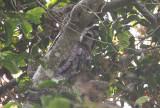 Verreaux's Eagle Owl - Grijze Oehoe