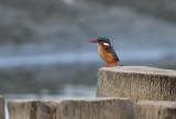 Malachite Kingfisher - Malachiet IJsvogel