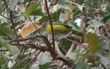 Sulphur-breasted Bushshrike - Oranje Bosklauwier