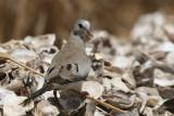 Namaqua Dove - Maskerduif