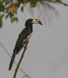 African Pied Hornbill - Bonte Tok