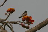 Violet-backed Sunbird - Violetrughoningzuiger