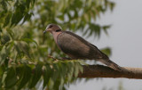Red-eyed Dove - Roodoogtortel
