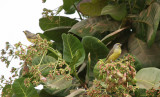 Yellow-fronted Canarys - Mozambiquesijsjes