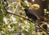 Black Flycatcher - Senegalese Drongovliegenvanger