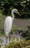 Intermediate Egret - Middelste Zilverreiger