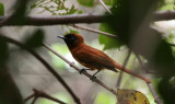 Red-bellied Paradise Flycatcher - Roodbuikparadijsmonarch