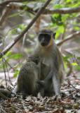 Green Velvet Monkey - Geelgroene Meerkat