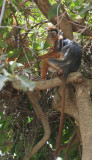 African Red Colobus - Afrikaanse Colobusaap