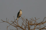 Black-shouldered Kite - Grijze Wouw