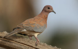 Laughing Dove - Palmtortel