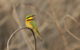 Little Bee-eater - Dwergbijeneter
