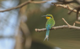 Swallow-tailed Bee-eater - Zwaluwstaartbijeneter