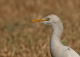 Cattle Egret - Koereiger