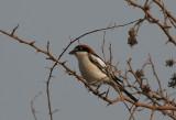 Woodchat Shrike - Roodkopklauwier