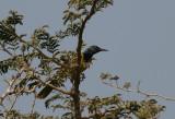 Oriole Warbler - Wielewaalzanger