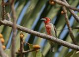 Vieillot's Barbet - Roodgele Baardvogel