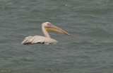Great White Pelican - Roze Pelikaan