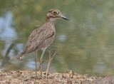 Senegal Thick-knee - Senegalese Griel