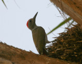 Grey Woodpecker - Grijsgroene Specht