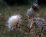 Thistle flower before fall