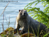 Marmot Neighbor