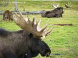 Moose at Portage