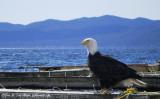 Curious Eagle
