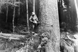 1960 Timber Fallers