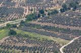 olive plantations near Delphi