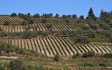 vineyards around Zemeno