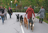 5 dogs walking the lady on the bicycle way