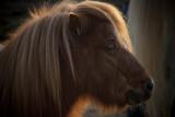 Choupidou, the poney