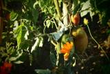 ...  I saw ripening tomatoes