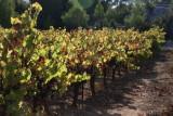 the vine field
