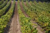 Picpoul de Pinet, a famous white wine grape