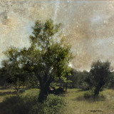 April 28:  light and shadow in the olive -grove