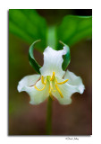 Catesby's Trillium