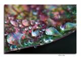 Water Droplets on Caladium Leaf