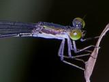 Epipleoneura thorax